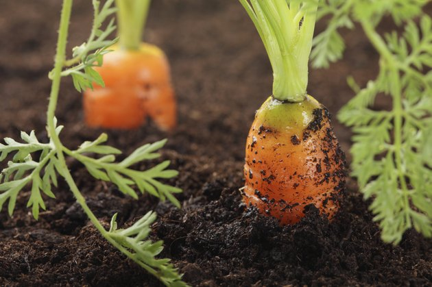 two carrots growing in the soil, very fresh