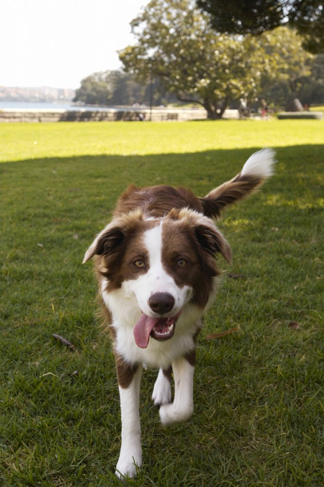Border collie walking on grass, tongue lolling out of mouth