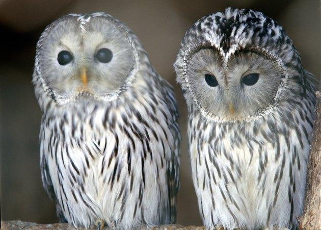 Portrait of owls