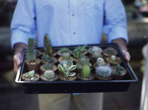 Man holding tray of cacti, close up, mid section