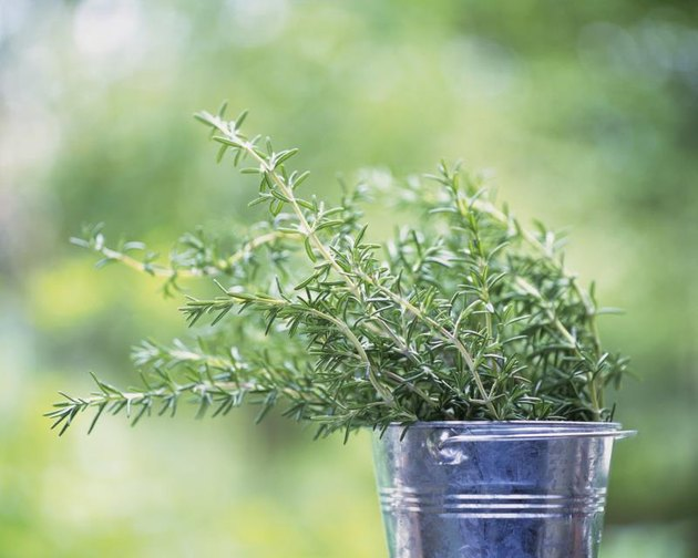 Rosemary in a bucket