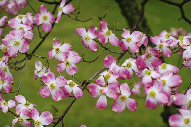 Pink Dogwood in Spring