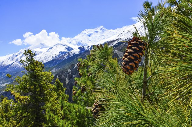 Cone on the tree with winter mountain peaks background