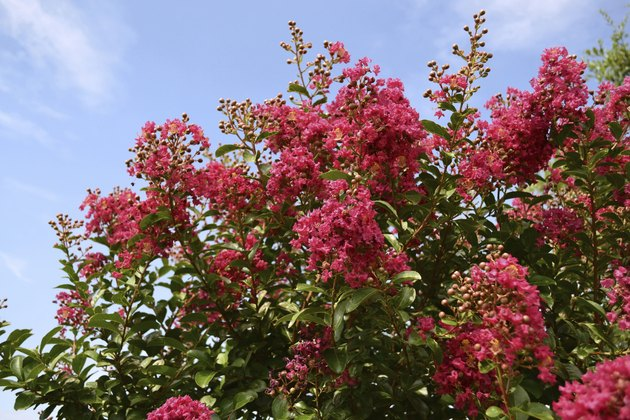 Red Crepe Myrtle against blue sky