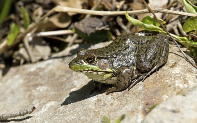 Bullfrog on a sunny rock