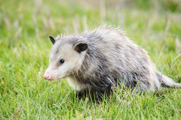 Possum in grass