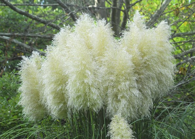 Cortaderia selloana pumila pampas grass foliage