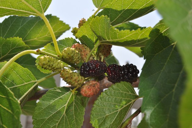 Mulberry with fruit and leaves on the tree