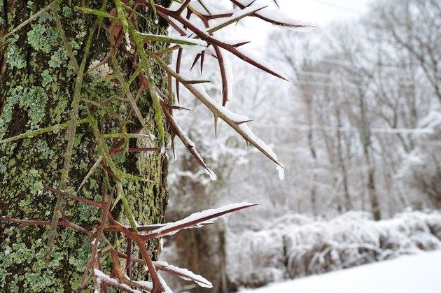 Honeylocust thorns in winter