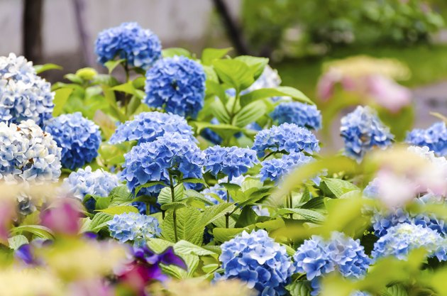 Blue hydrangea in the garden