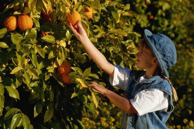 Girl (4-7 years) picking orange in tree