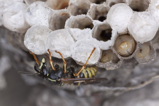 Common wasp, Vespula vulgaris and larva on wasp's nest