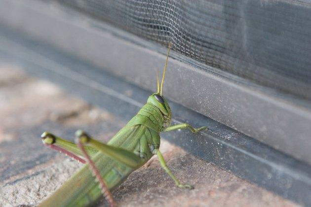 Sneaky Grasshopper