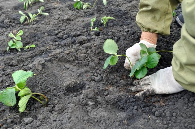 planting a strawberry seedling