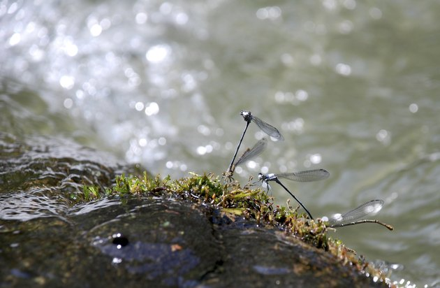 Dragonflies in a River