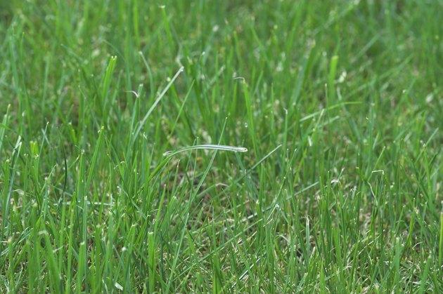 Healthy Premium Lawn
