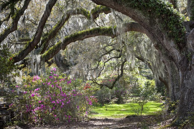 Sunshine filtering a spring scene of live oak trees