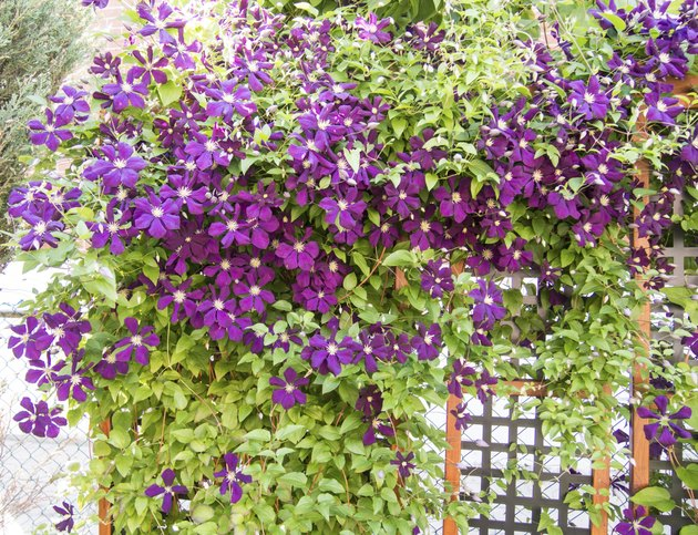 Jackmanii Clematis in bloom