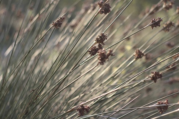 Close up of rushes