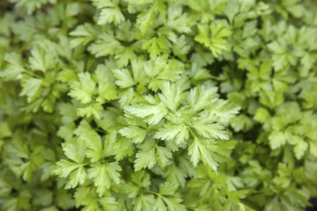 parsley in garden
