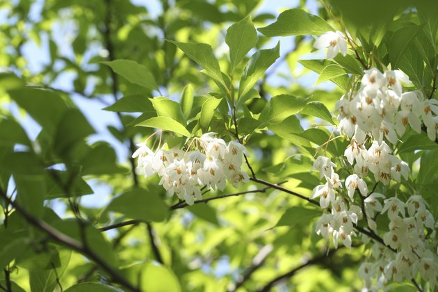 Japanese snowbell Styrax japonicus