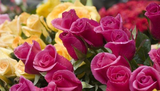 Rosebuds from Hanoi