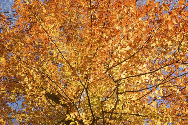 Fall leaves of American beech