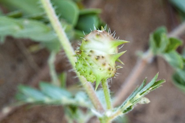 Typical Mediterranean plant with scientific name Tribulus terres