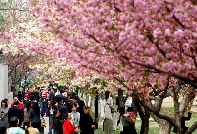 Tourists Enjoy Cherry Blossom In Xian Jiaotong University
