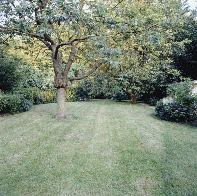 Tree in garden, mown lawn