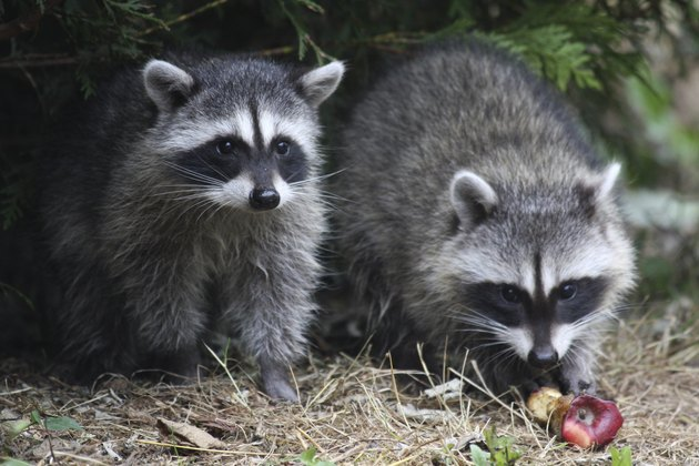 Wild raccoons.