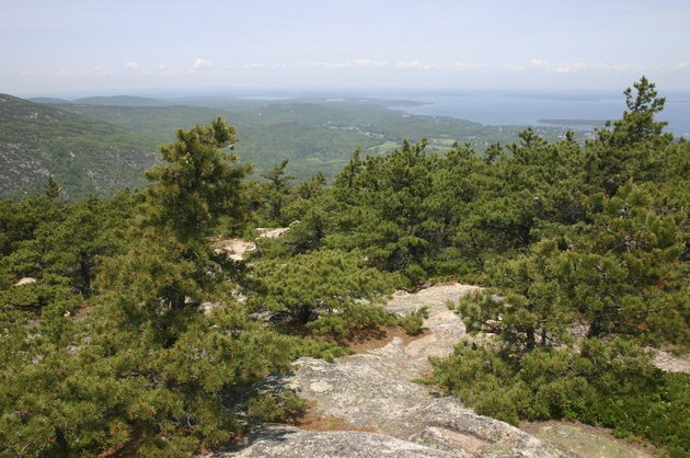 Jack pines thriving on Champlain Mountain's summit