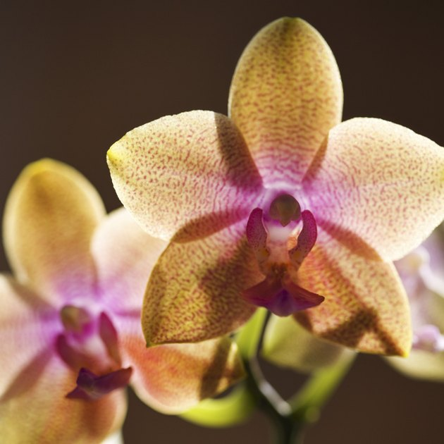 Backlit orchids