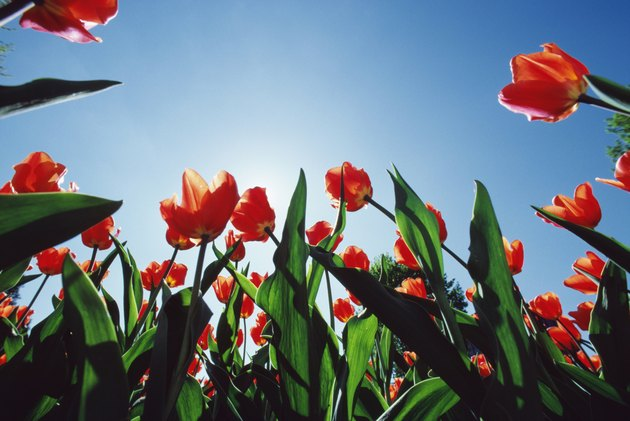 Low angle view of blooming tulips