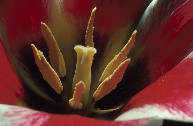 Blossoming tulip