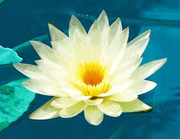 High angle view of a lotus