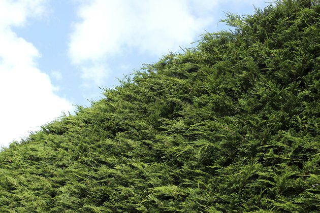 Image of tall Leyland cypress / Cupressus Leylandii hedge in garden