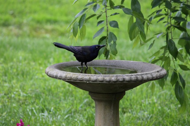 Common grackle visits bird bath for a drink.