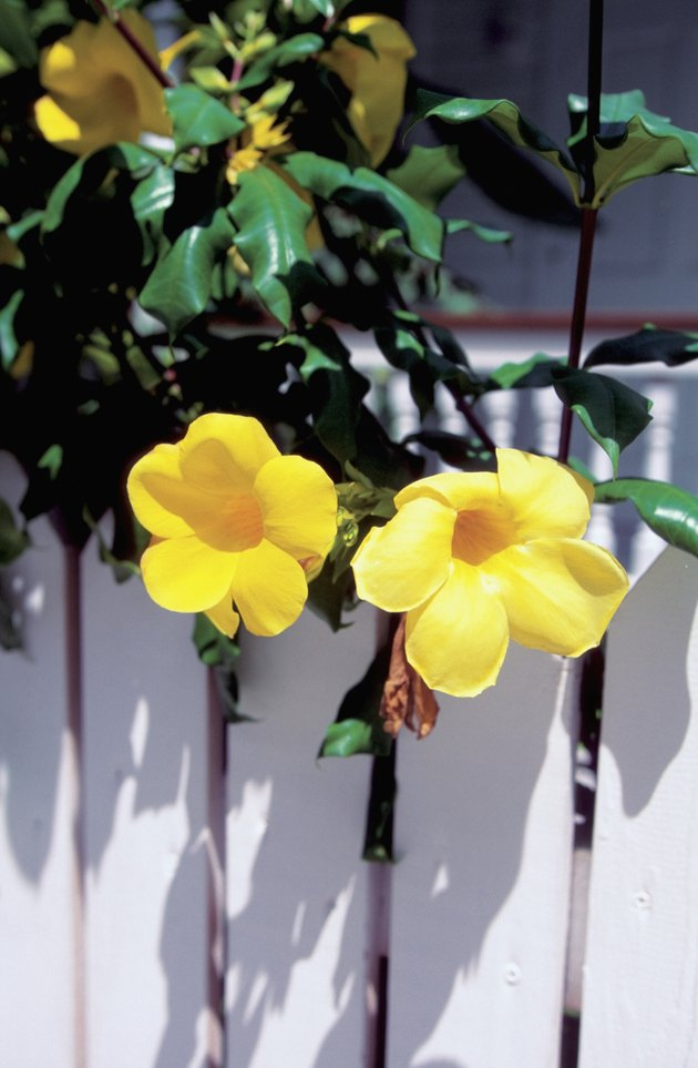 Allamanda flowers on a white fence, Key West, Florida, USA