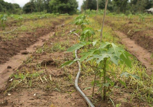 Papaya cultivation