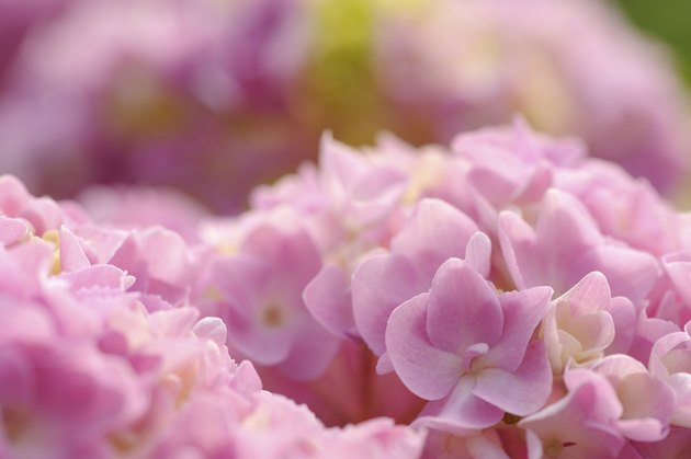 Beautiful Pink Hydrangea Flowers Close-Up