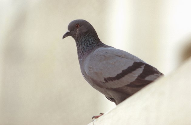 Pigeon perched on ledge