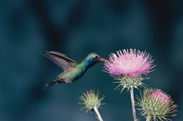 Close-up of a Broad-billed Hummingbird (Cynanthus latirostris)
