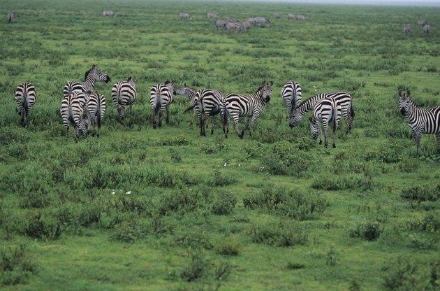 Group of Burchell's zebras (Equus burchelli), Kenya, elevated view