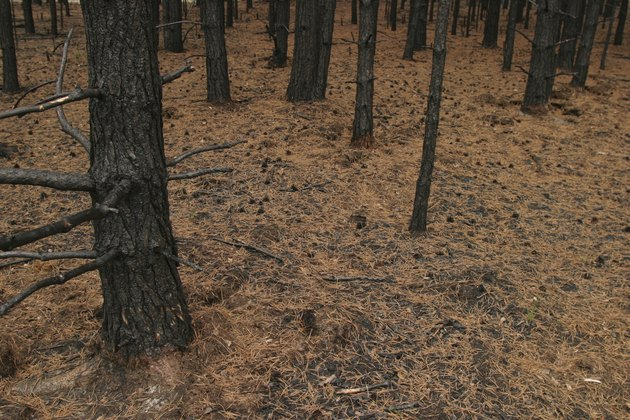 Trees after forest fire