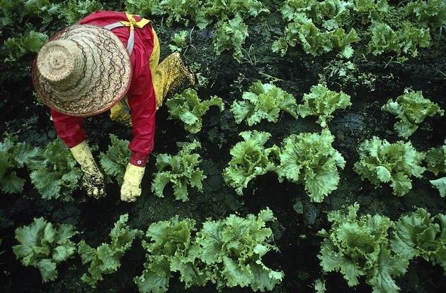 Worker in field picking lettuce