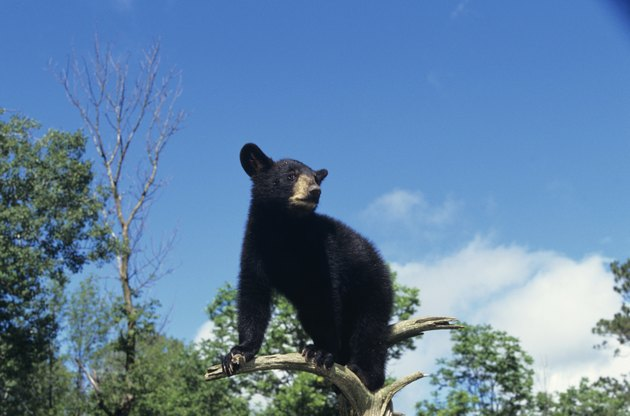 American black bear (Ursus americanus) cub, Minnesota, USA