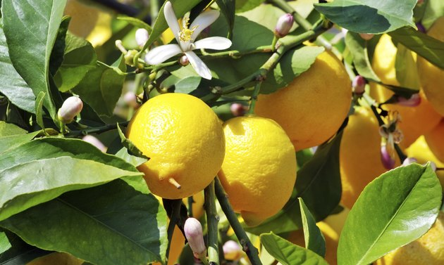 Ripe lemons on green leaves