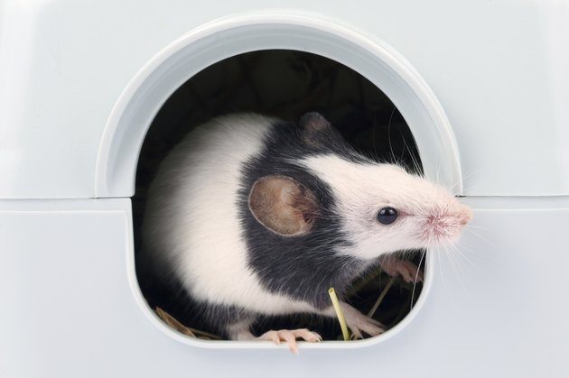 Little mouse looking out of it's hole