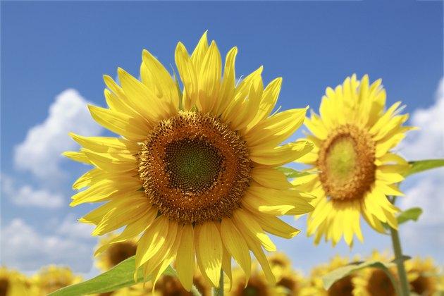 Sunflower, Yamanashi Prefecture, Honshu, Japan